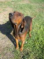 Nosy Redbone Coonhound dog