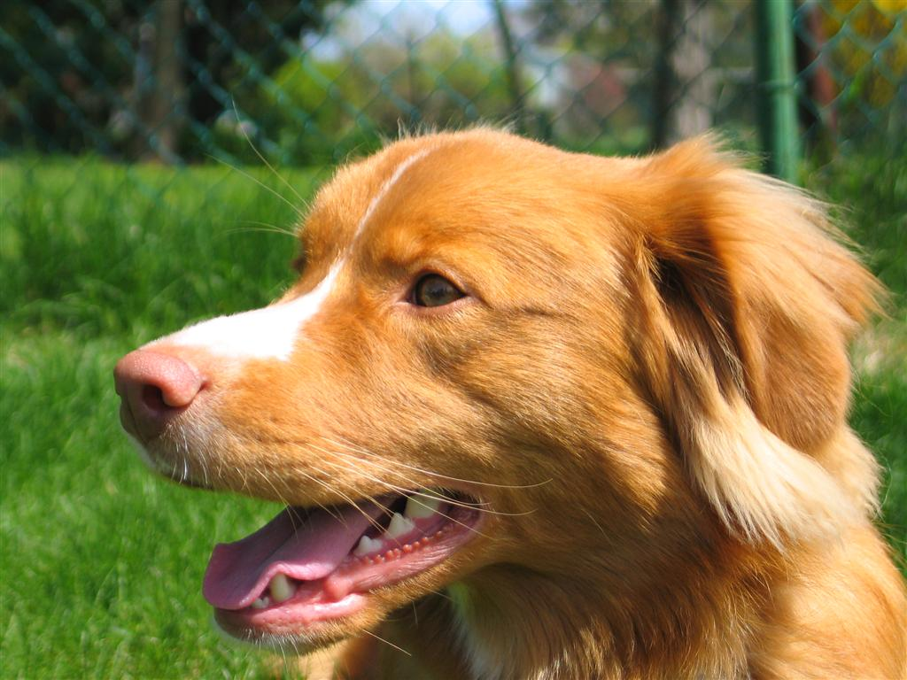 Nova Scotia Duck-Tolling Retriever dog face wallpaper