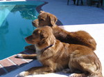 Nova Scotia Duck-Tolling Retriever dogs near the pool