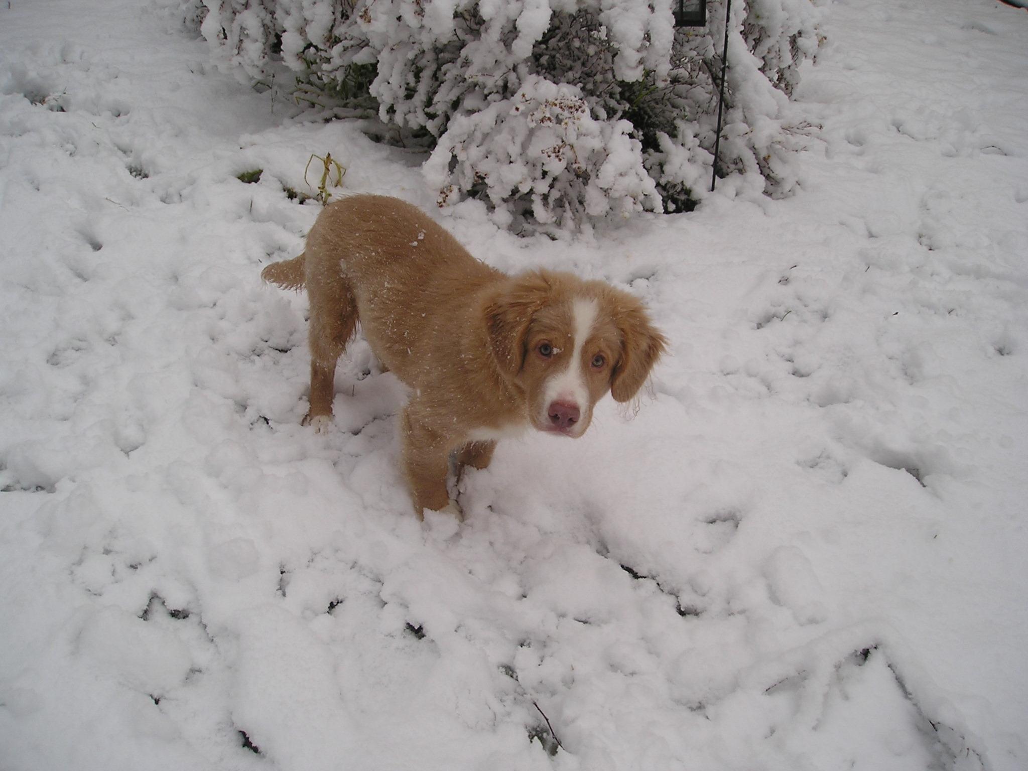 Новошотландский ретривер в снегу фото