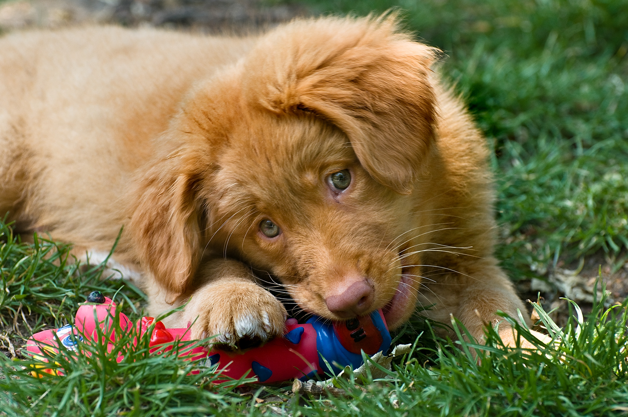 Nova Scotia Duck-Tolling Retriever with a toy wallpaper