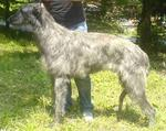 Old Croatian Sighthound dog