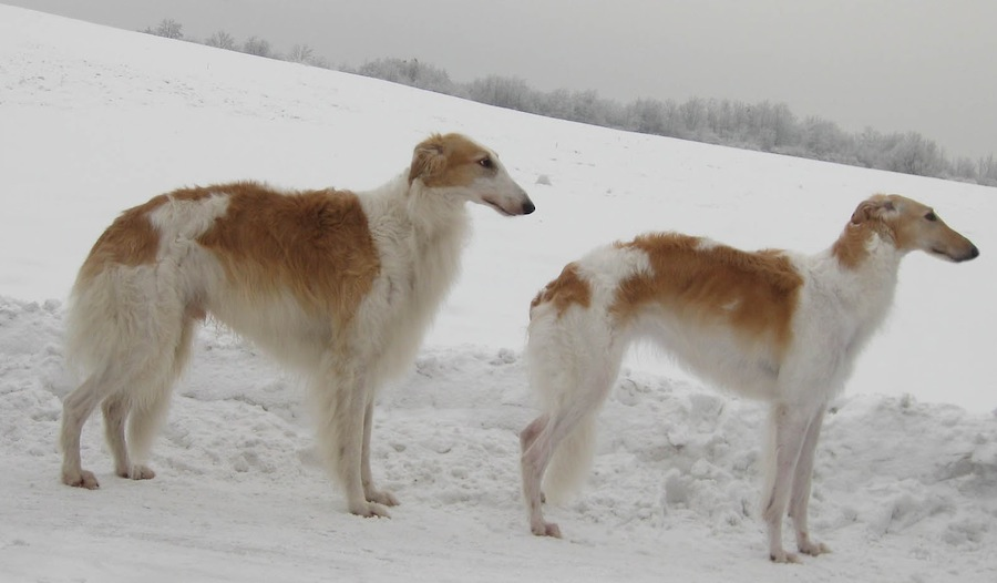 Old Croatian Sighthound wallpaper