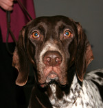 Old Danish Pointer dog face