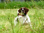 Old Danish Pointer in the grass