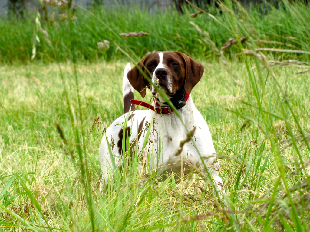 Old Danish Pointer in the grass wallpaper