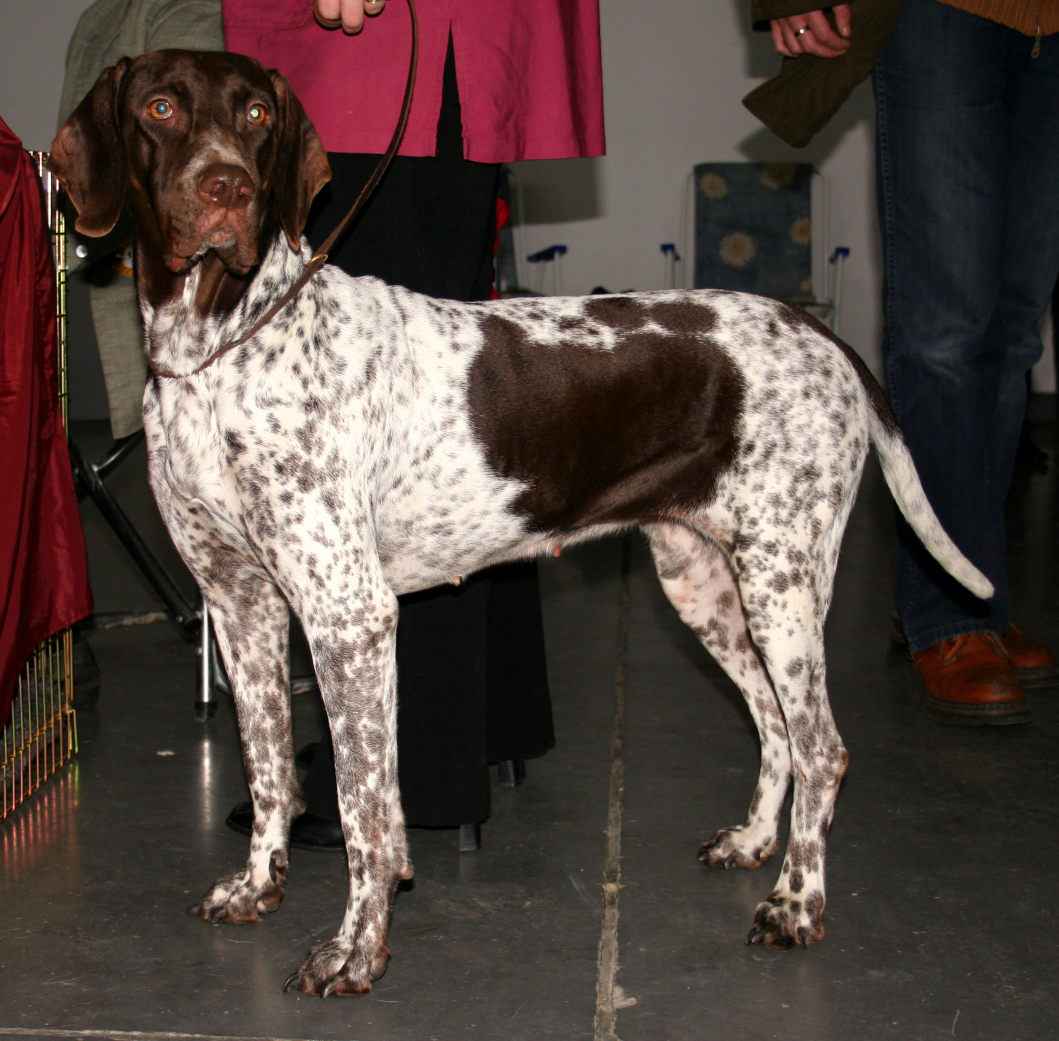 Old Danish Pointer wallpaper