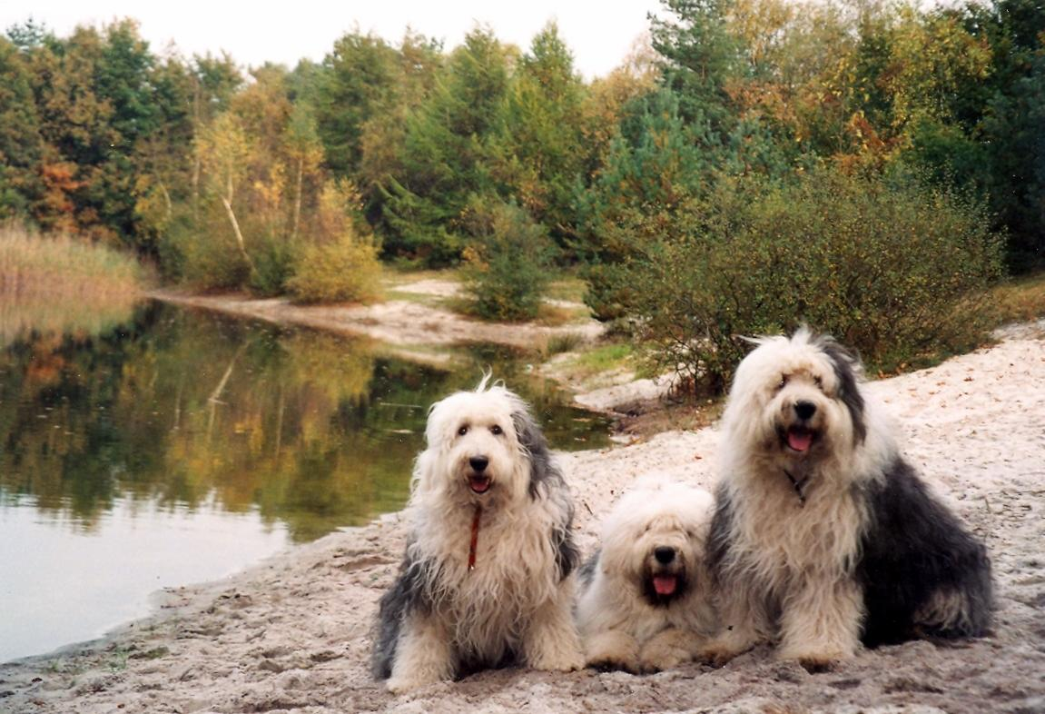Old English Sheepdog dogs in nature wallpaper