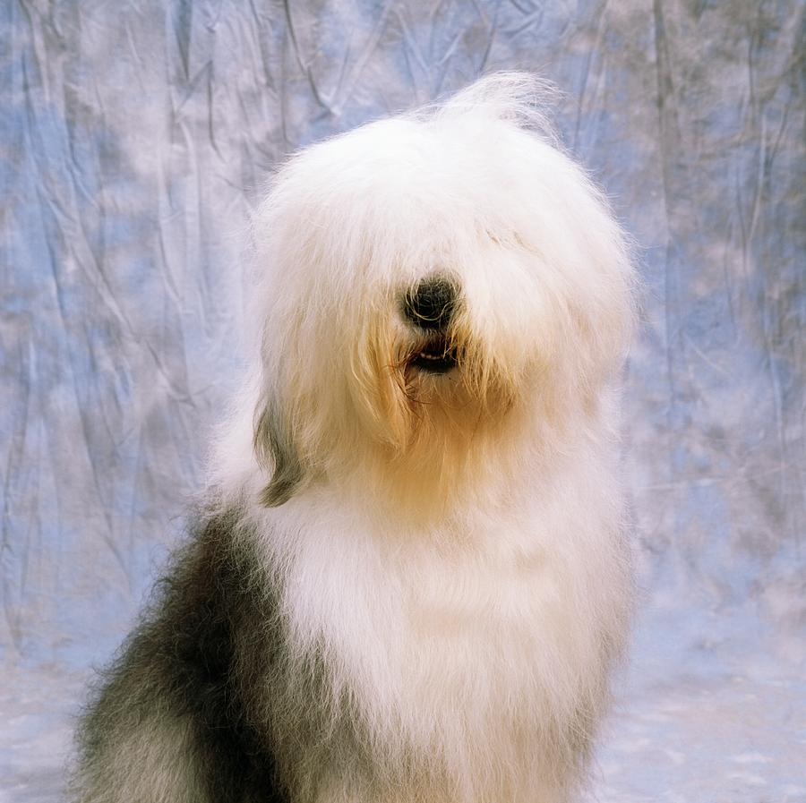 Old English Sheepdog portrait wallpaper