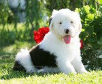 Old English Sheepdog with a flower