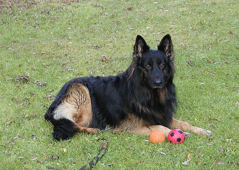 Длинношёрстная немецкая овчарка с мячом фото