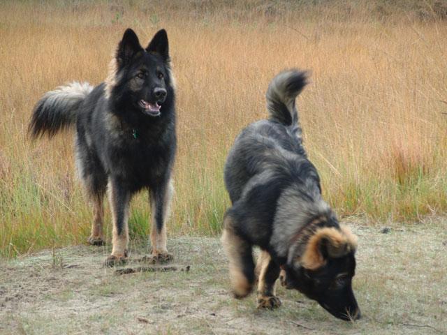 Old German Shepherd Dogs  wallpaper