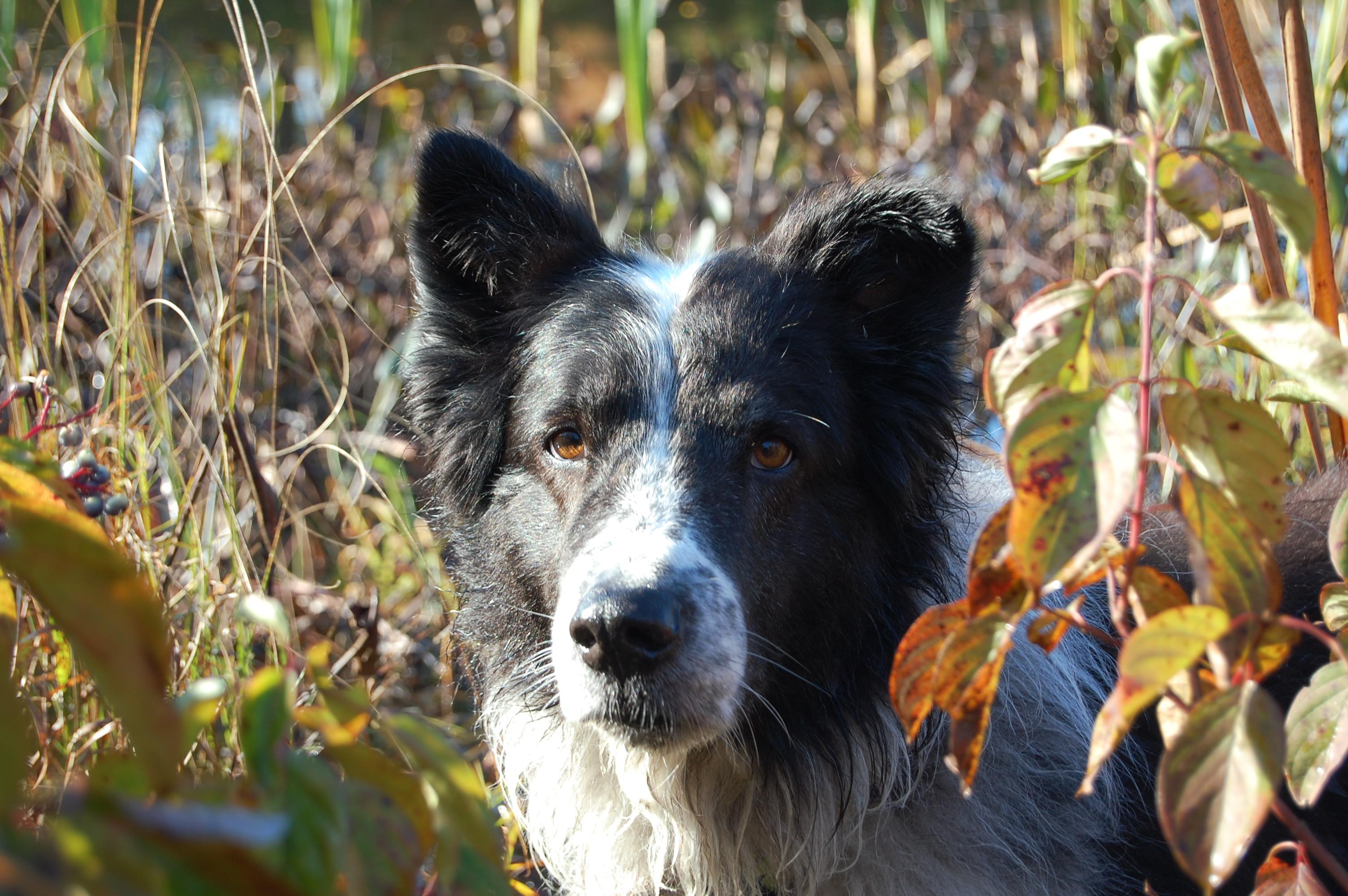 Old Time Farm Shepherd dog face wallpaper