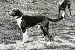 Old Trigg Hound dog