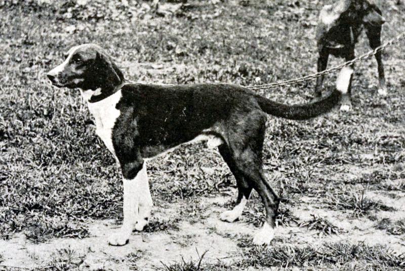 Старый триггхаунд фото