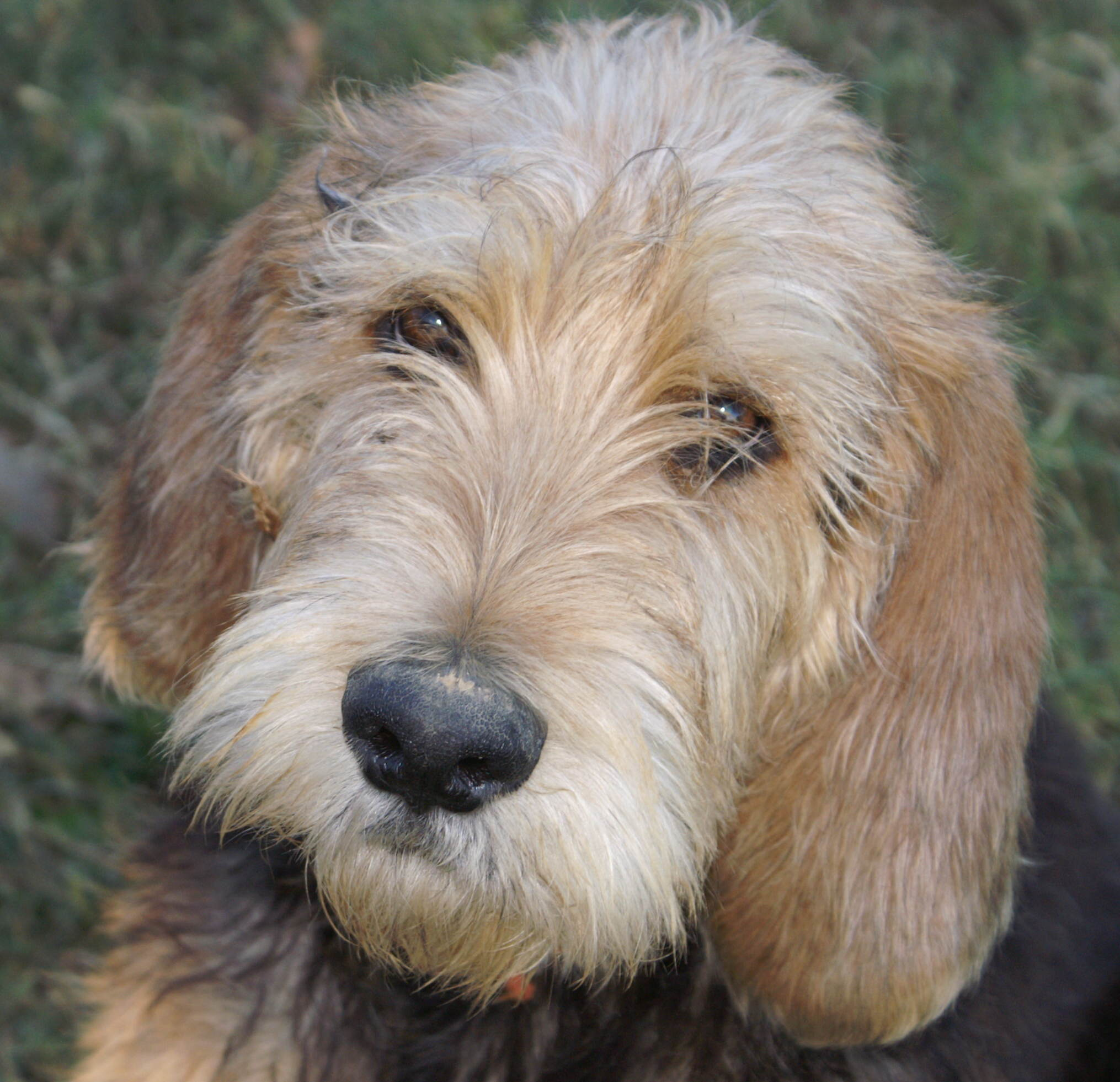 Otterhound dog face wallpaper