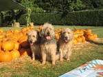 Otterhound dogs and pumpkins