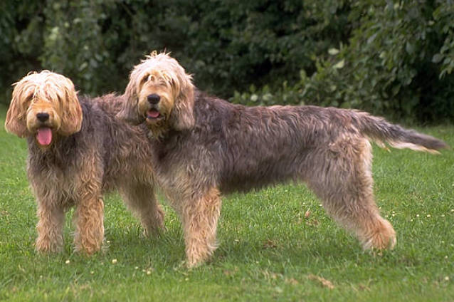 Otterhound wallpaper