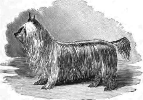 Paisley Terrier dog wallpaper