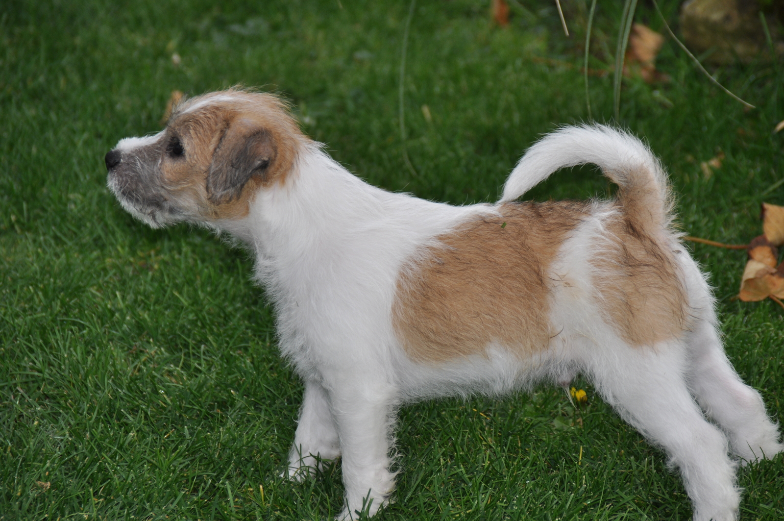 Parson Russell Terrier dog on the grass wallpaper