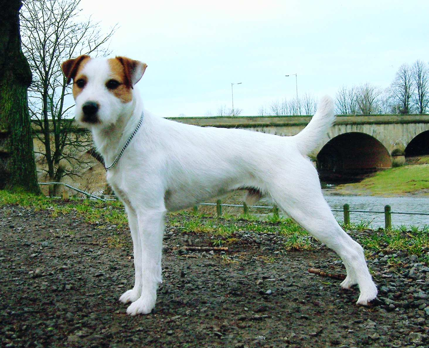 Parson Russell Terrier near the bridge wallpaper