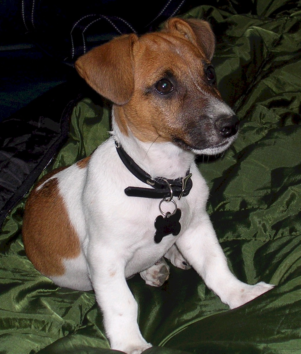 Parson Russell Terrier wallpaper