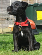 Patterdale Terrier dog in red collar