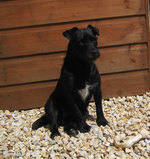 Patterdale Terrier dog near the house