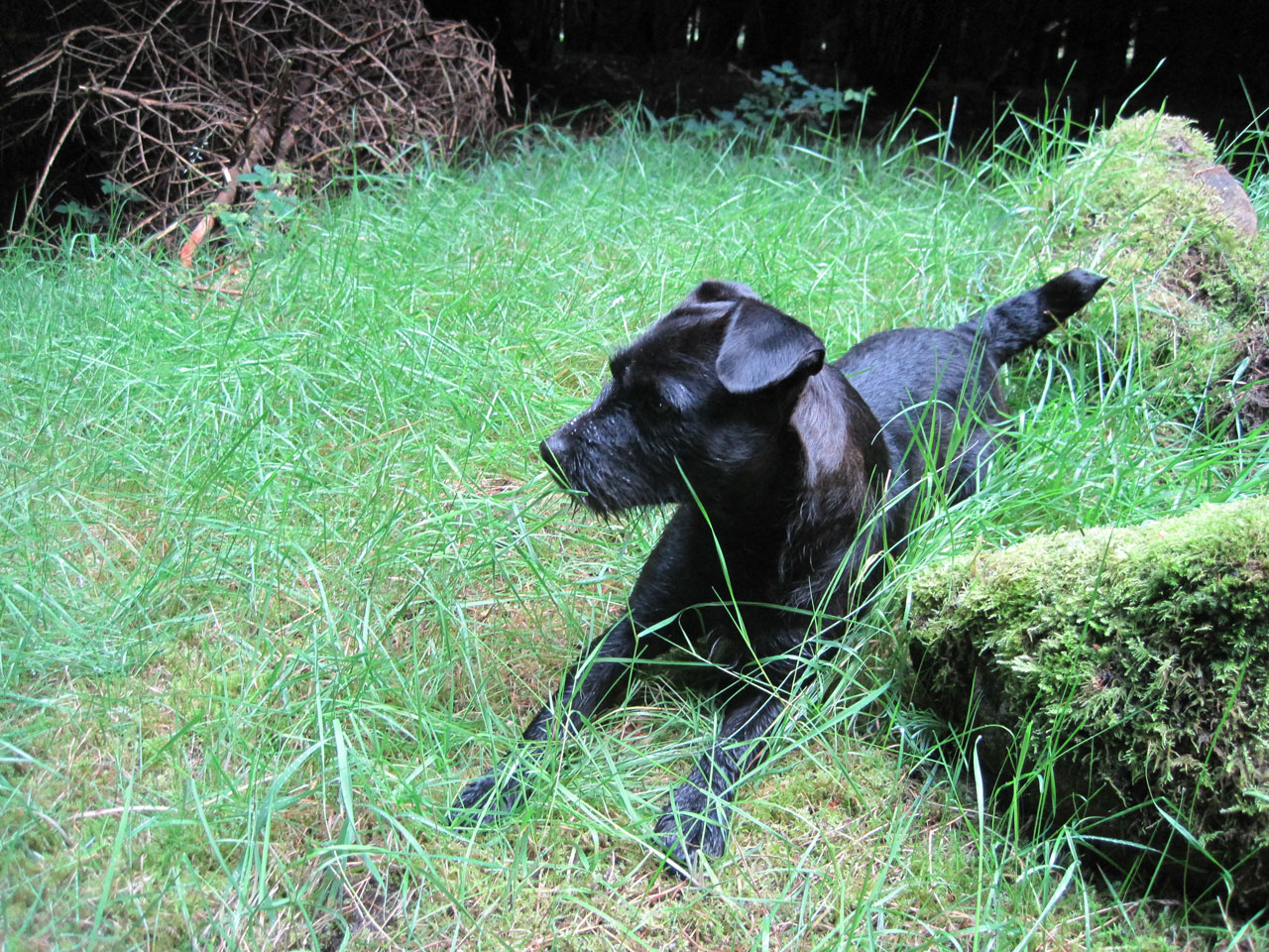 Patterdale Terrier in the grass wallpaper