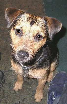 Patterdale Terrier wallpaper