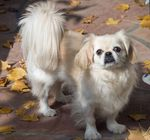 Pekingese dog for a walk