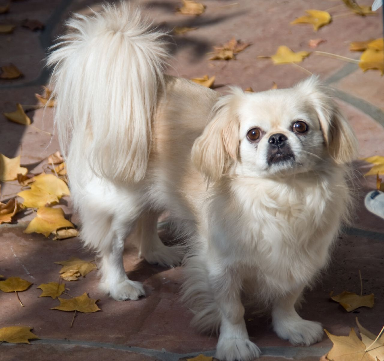 Pekingese dog for a walk wallpaper