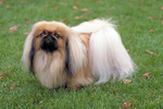 Pekingese dog in the grass