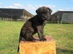 Perro de Presa Canario puppy