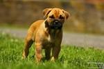 Perro de Presa Mallorquin puppy