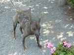 Peruvian Hairless Dog and flowers