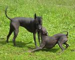 Перуанские голые собаки