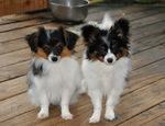 Phalène dogs