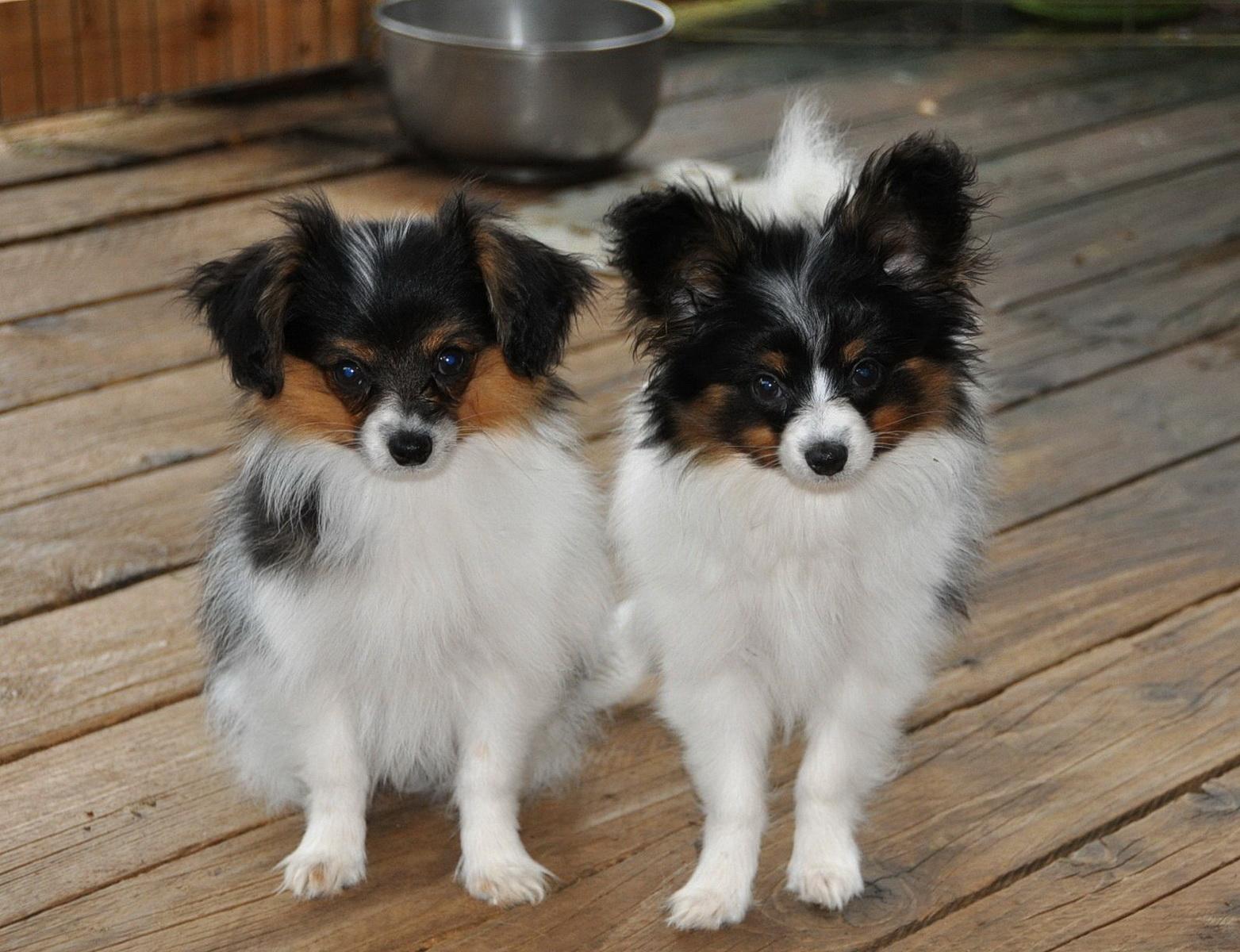 характер породы собаки фален