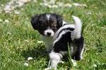 Phalène puppy
