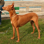 Pharaoh Hound dog and his owner