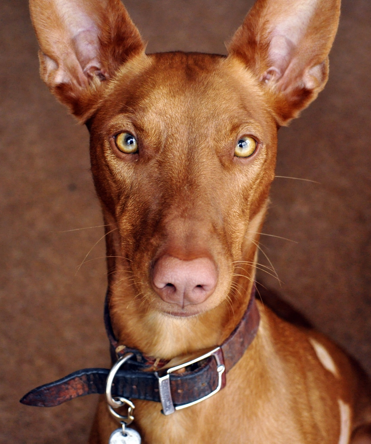 Pharaoh Hound dog face wallpaper