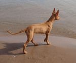 Pharaoh Hound dog near the water