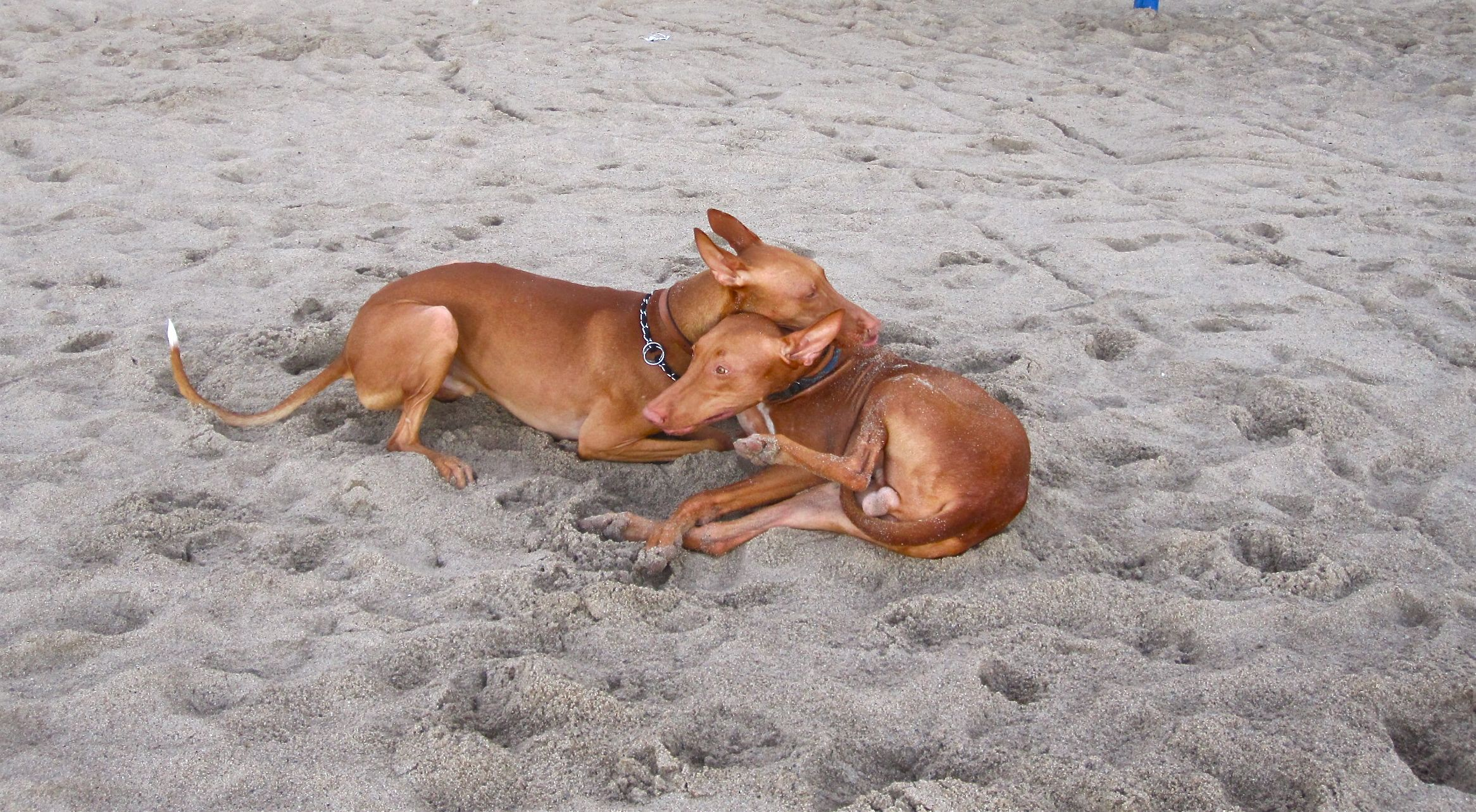 Pharaoh Hound dogs on the beach wallpaper