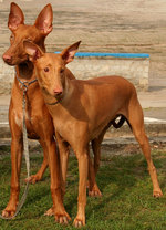 Pharaoh Hound dogs