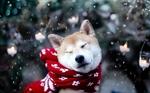 Akita Inu wearing a scarf