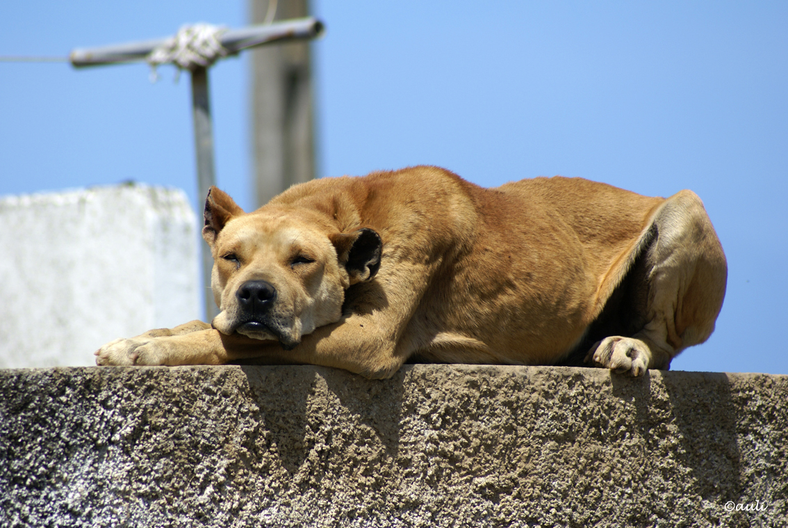 Cao Fila de Sao Miguel dog sleeping on the roof wallpaper