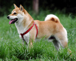 Fawn Akita Inu on the grass