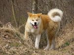 Akita Inu at the autumn forest