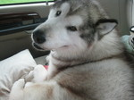 Alaskan Malamute in the car